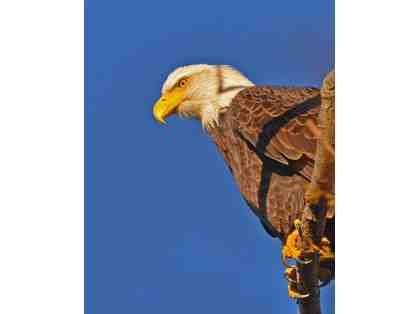 Bald Eagle Perched From Up Top Framed Photograph