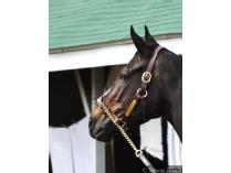 "Genuine Halter Worn by Legendary Racehorse ""Zenyatta"""
