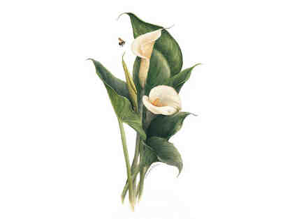 """Calla Lily"" - Lithograph by Jan Pelland"
