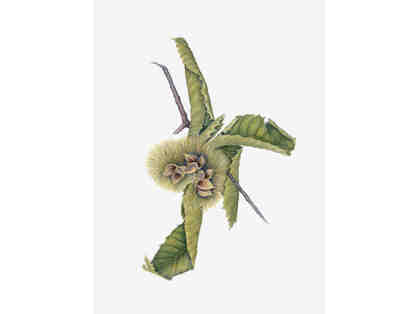 Chinese Chestnut Pod - Luther Burbank's Garden Specimen by Nancy Wheeler Klippert