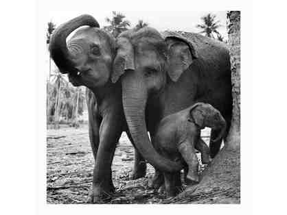 Elephants, Sri Lanka 2012 by Julien Capmeil