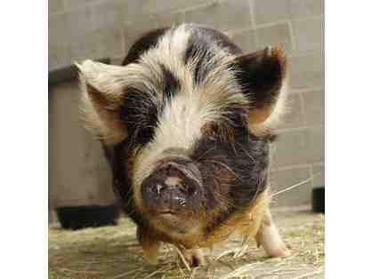 Name Our New Male Kunekune Pig!